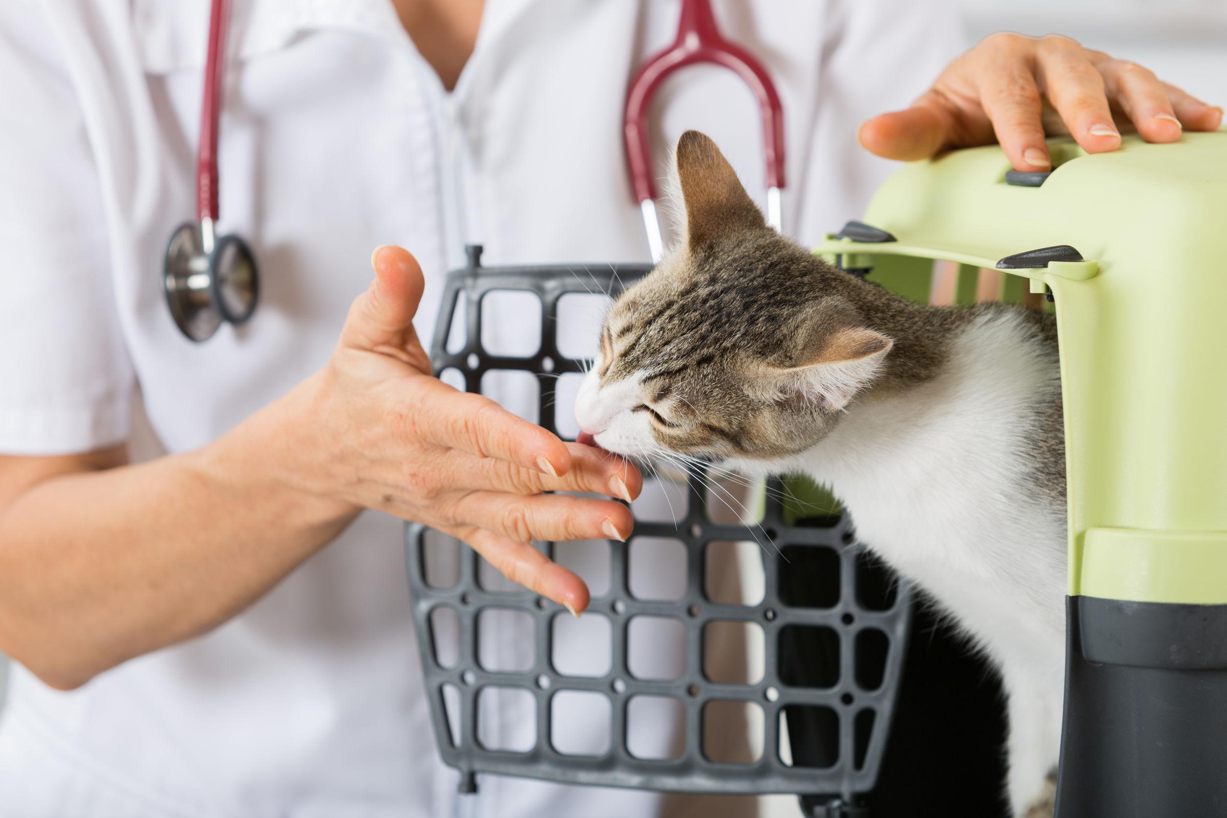 Veterinario tomar malta gato para su revisión en la clínica