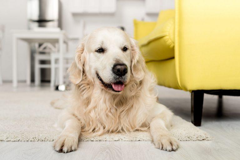 Perro de edad avanzada acostado en sala de estar