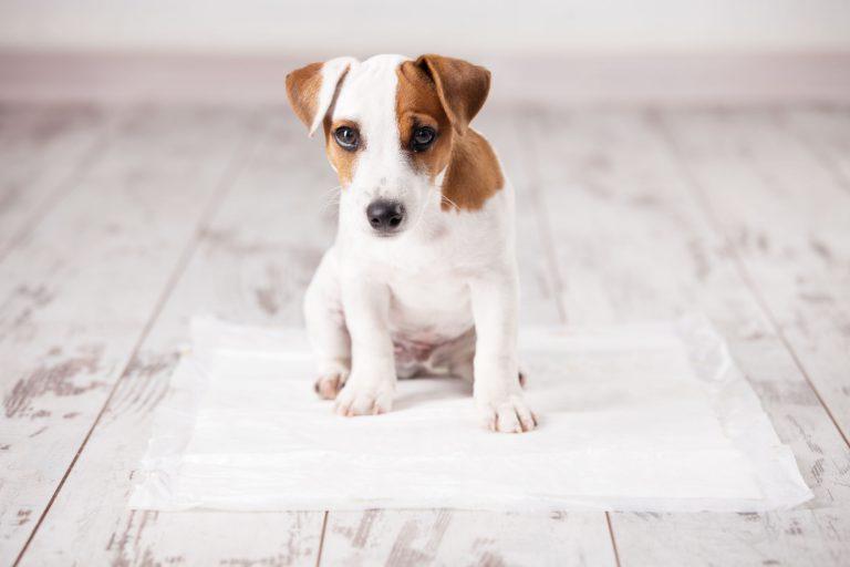 Cachorro sobre empapador para perros
