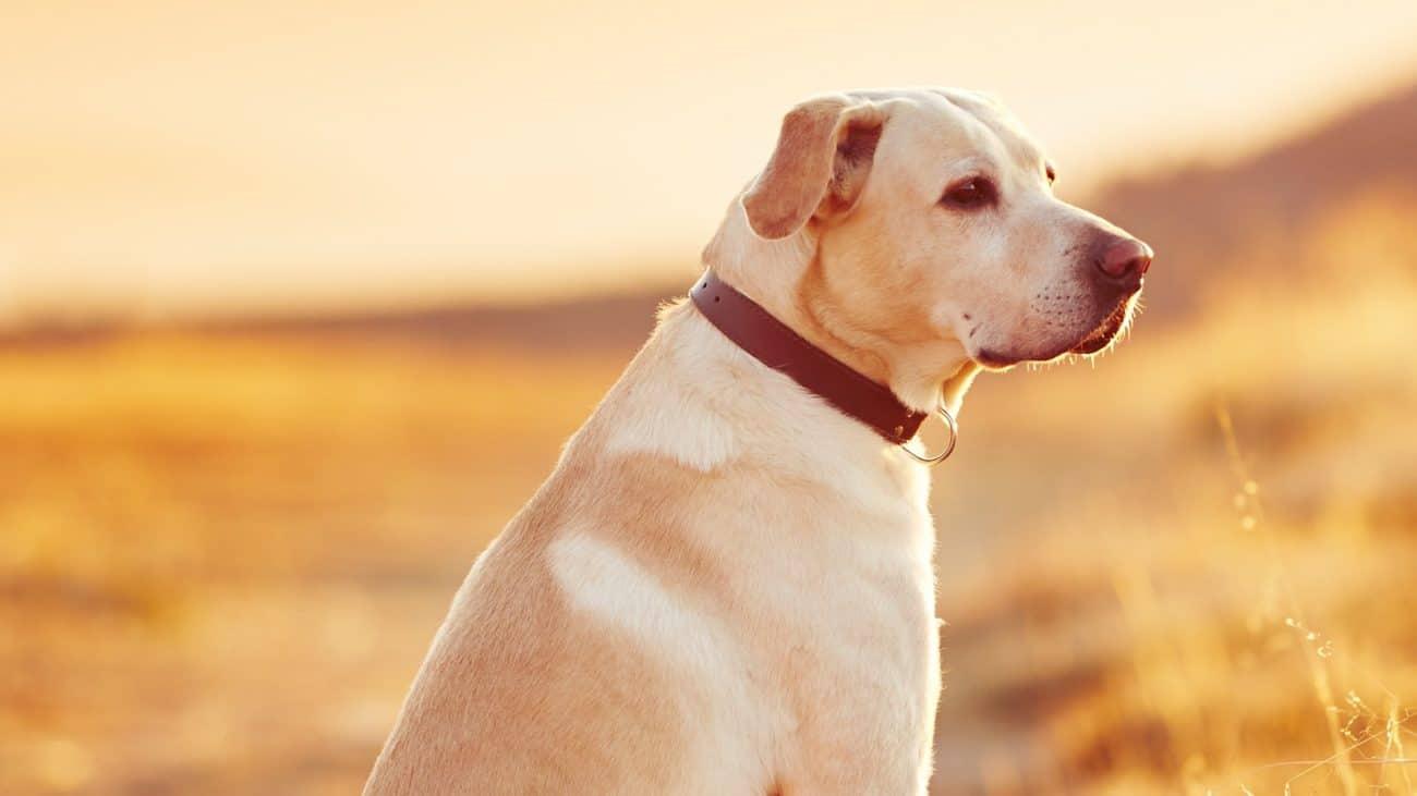 Collares antipulgas para perros: ¿Cuál es el mejor del 2020?