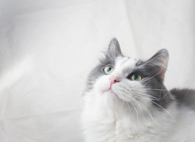 Gato blanco y gris mirando fijamente