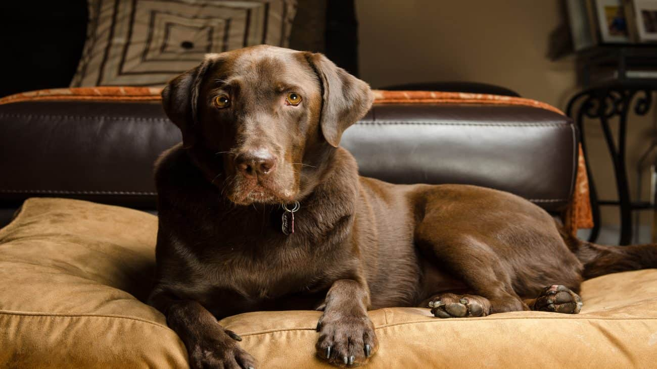 Cama para perros grandes: ¿Cuál es la mejor del 2020?