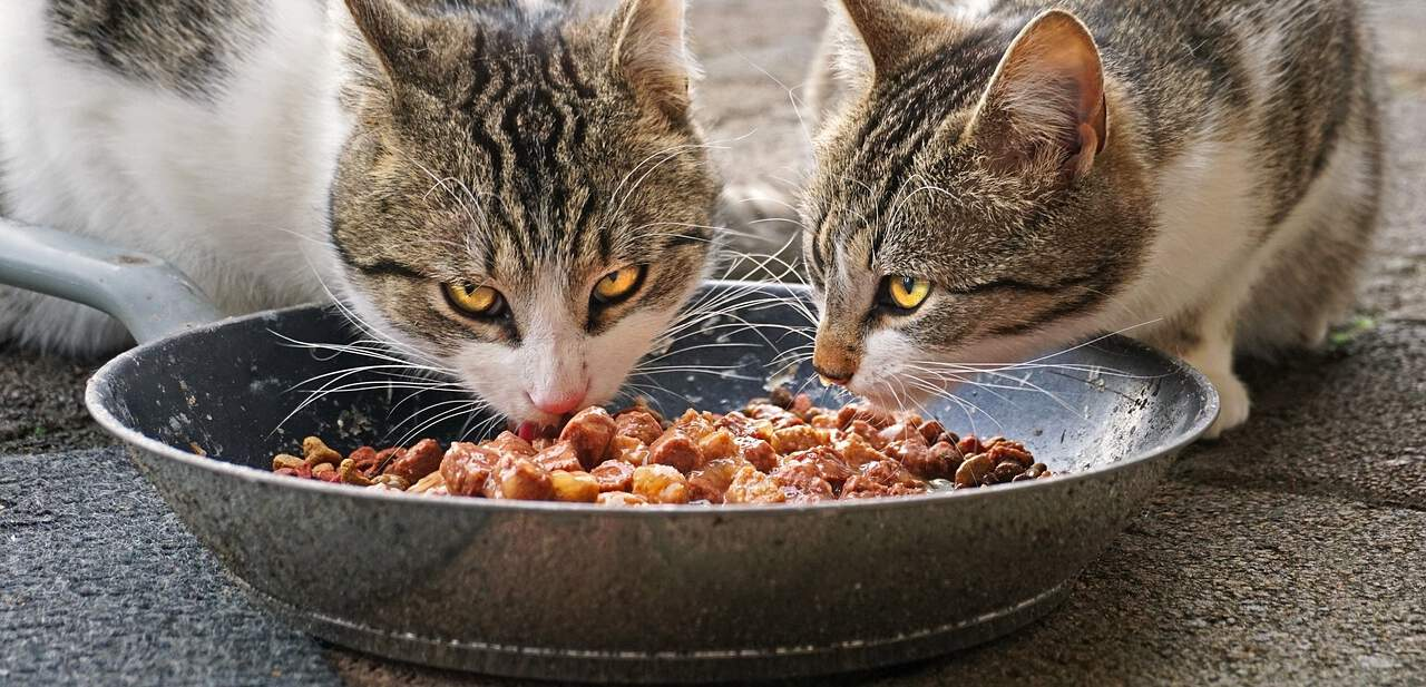Gatos comiendo del mismo plato