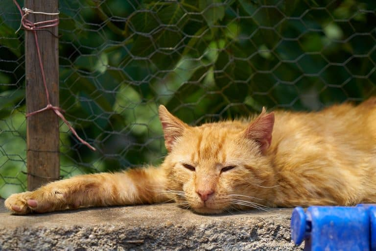 Gato amarillo descansando