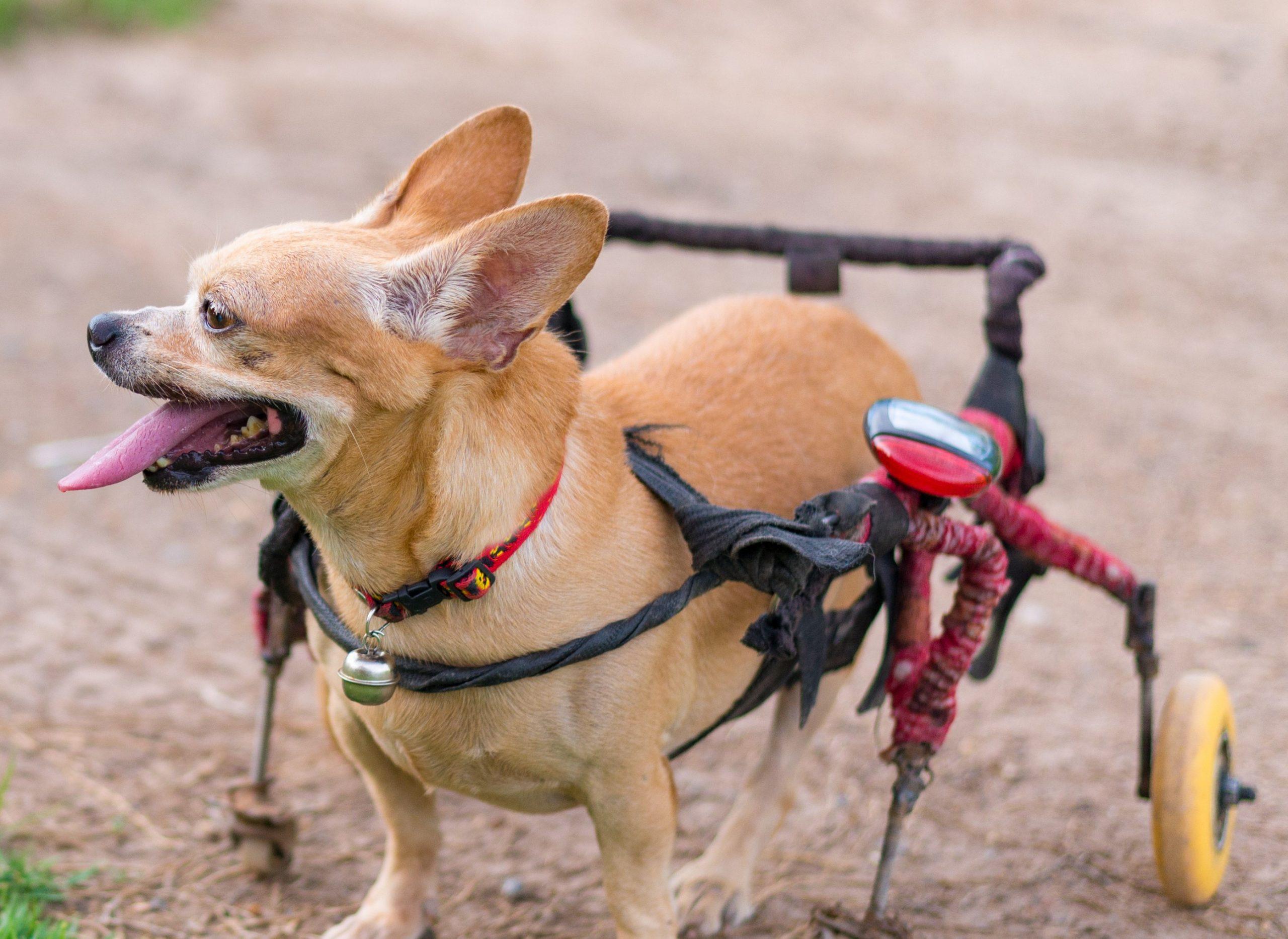 Canino en andadera