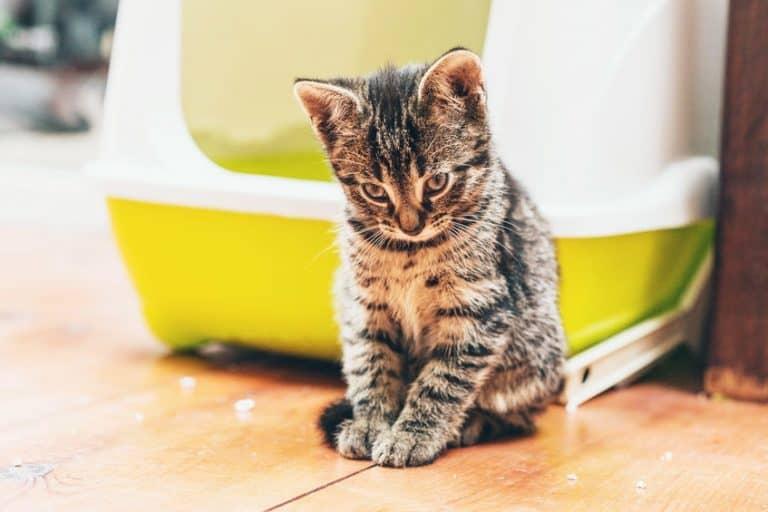 Gatito gris junto a caja