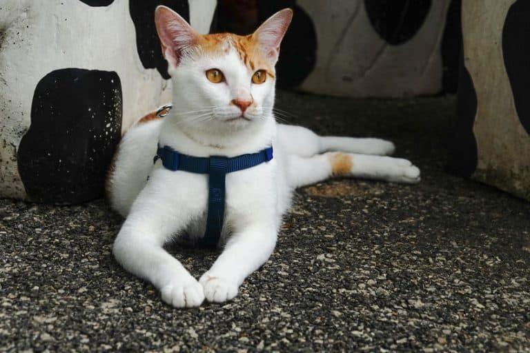 Gato descando