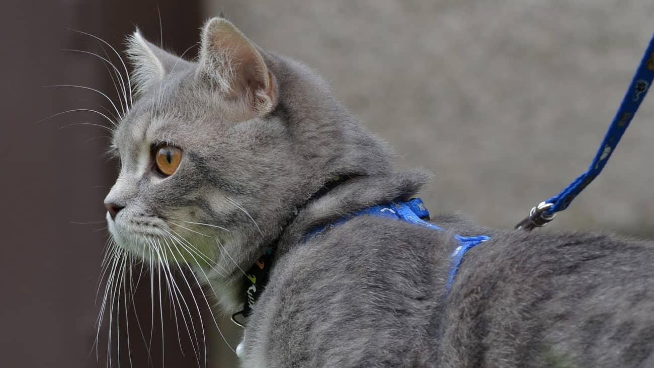 Arnés para gato: ¿Cuál es el mejor de 2021?
