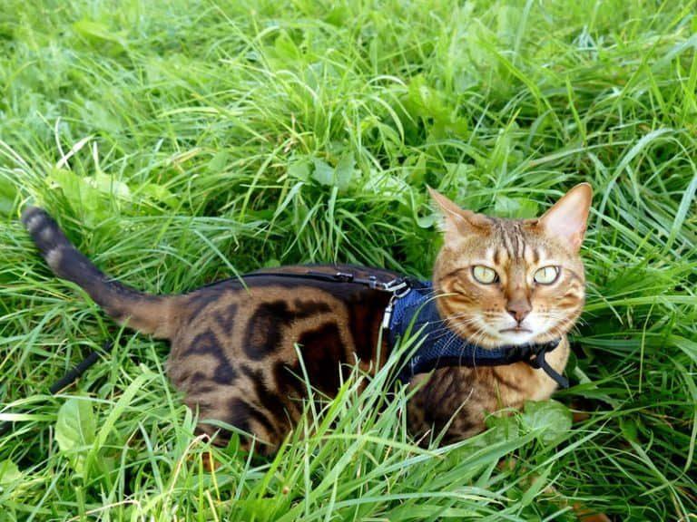 Gato con arnés