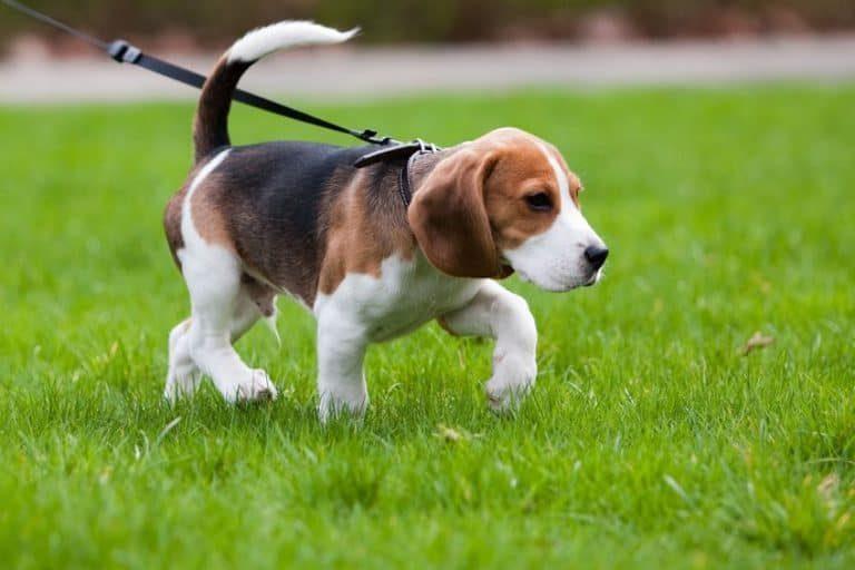 Perro con su arnés paseando
