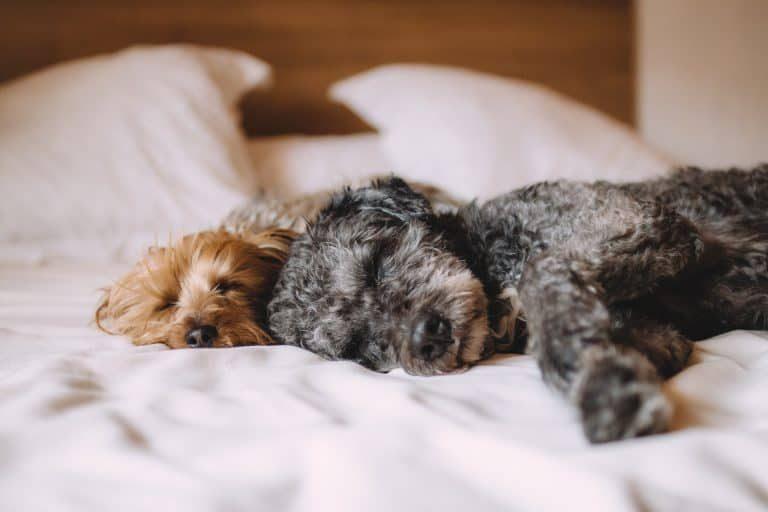 Dos perros tumbados