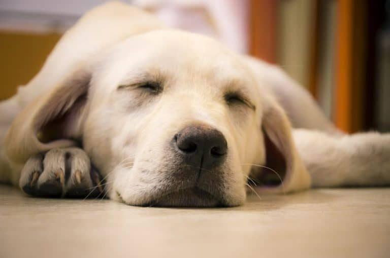 camas para cães grandes