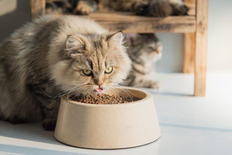 Lindo-gatito-comiendo