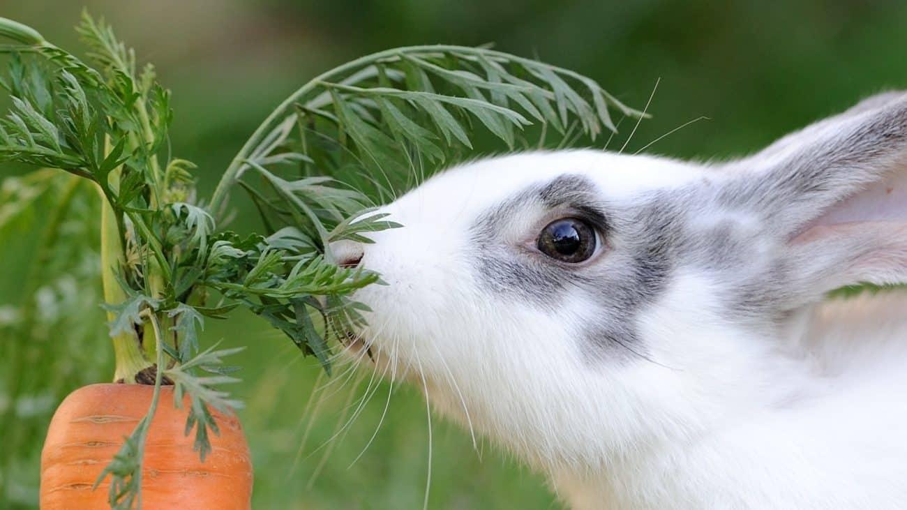 Comida para conejos: ¿Cuál es la mejor del 2020?