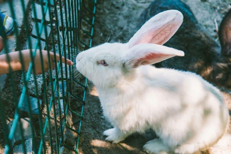 Conejo blanco en jaula