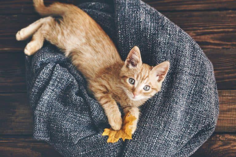 Gato acostado y jugando