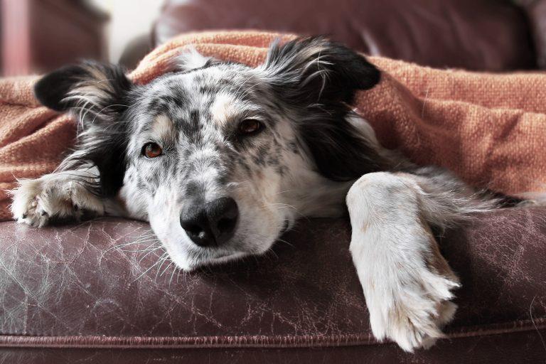 silla de perros