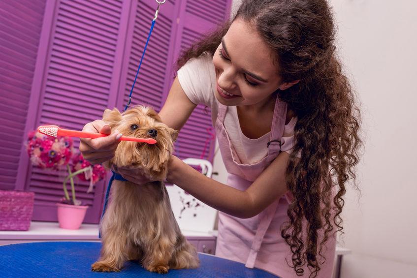 Peluquero profesional sosteniendo cepillo de dientes y cepillarse los dientes de perro pequeño en el salón de mascotas
