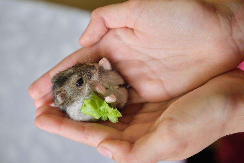 Hamster comiendo lechuga