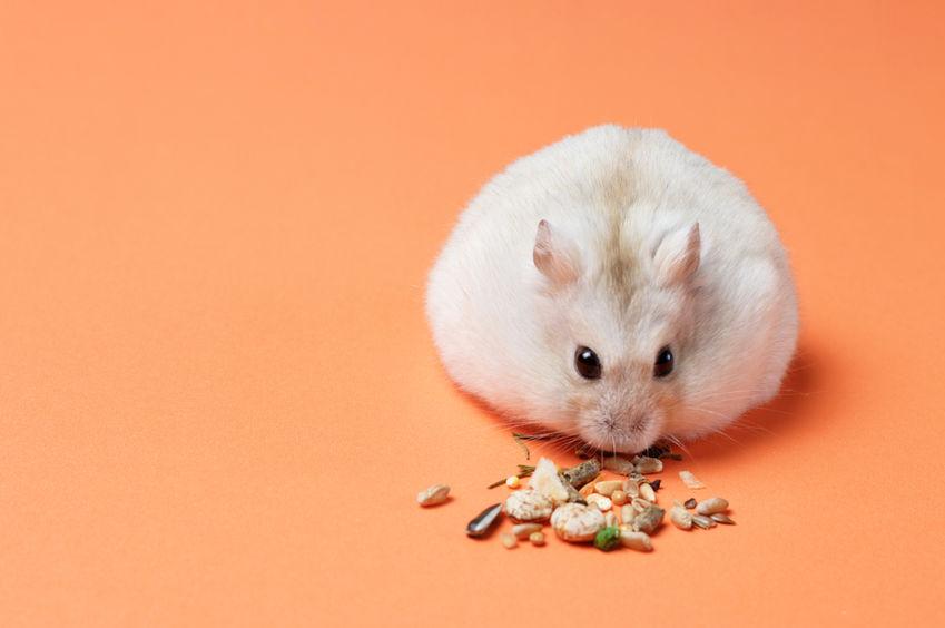 fondo naranja con hamster