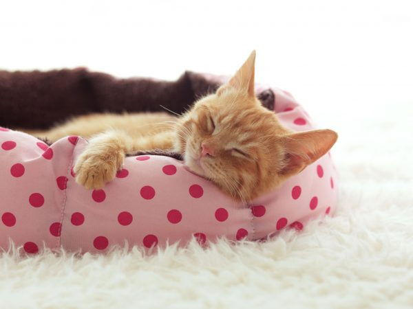 A ginger kitten sleeps in his soft cozy bed on a white carpet, soft focus