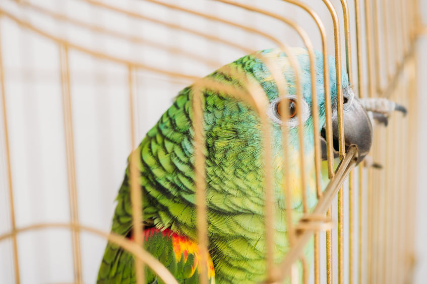 selective focus of bright amazon parrot sitting in bird cage