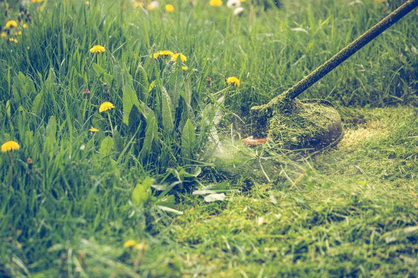 pjauna žolę