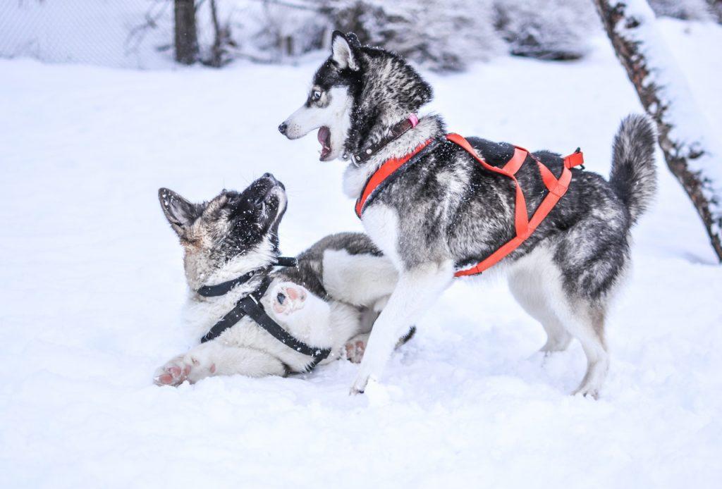 Perros aptos para el frío.