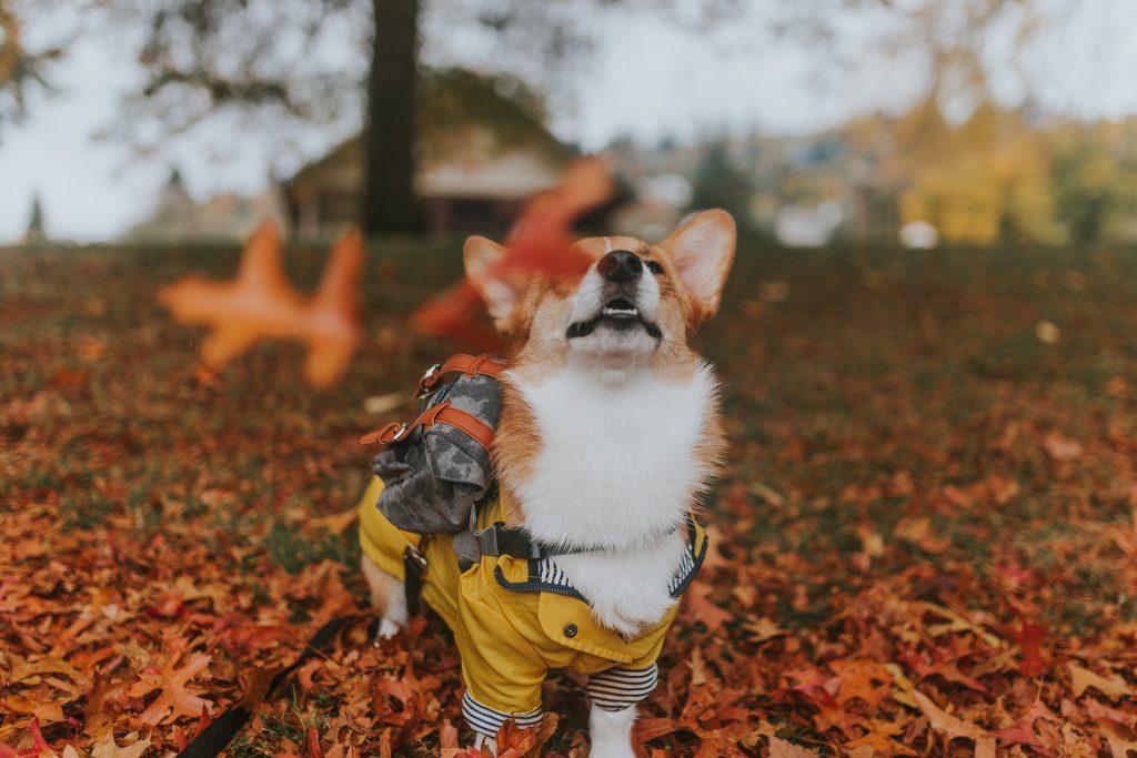 šuo rudenį
