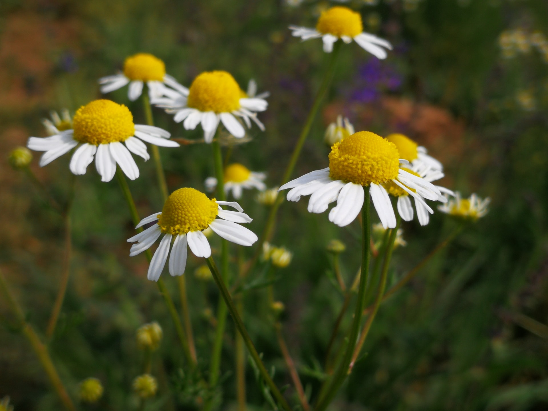 Imagen de la flor de manzanilla, muy parecida a la flor de la margarita.