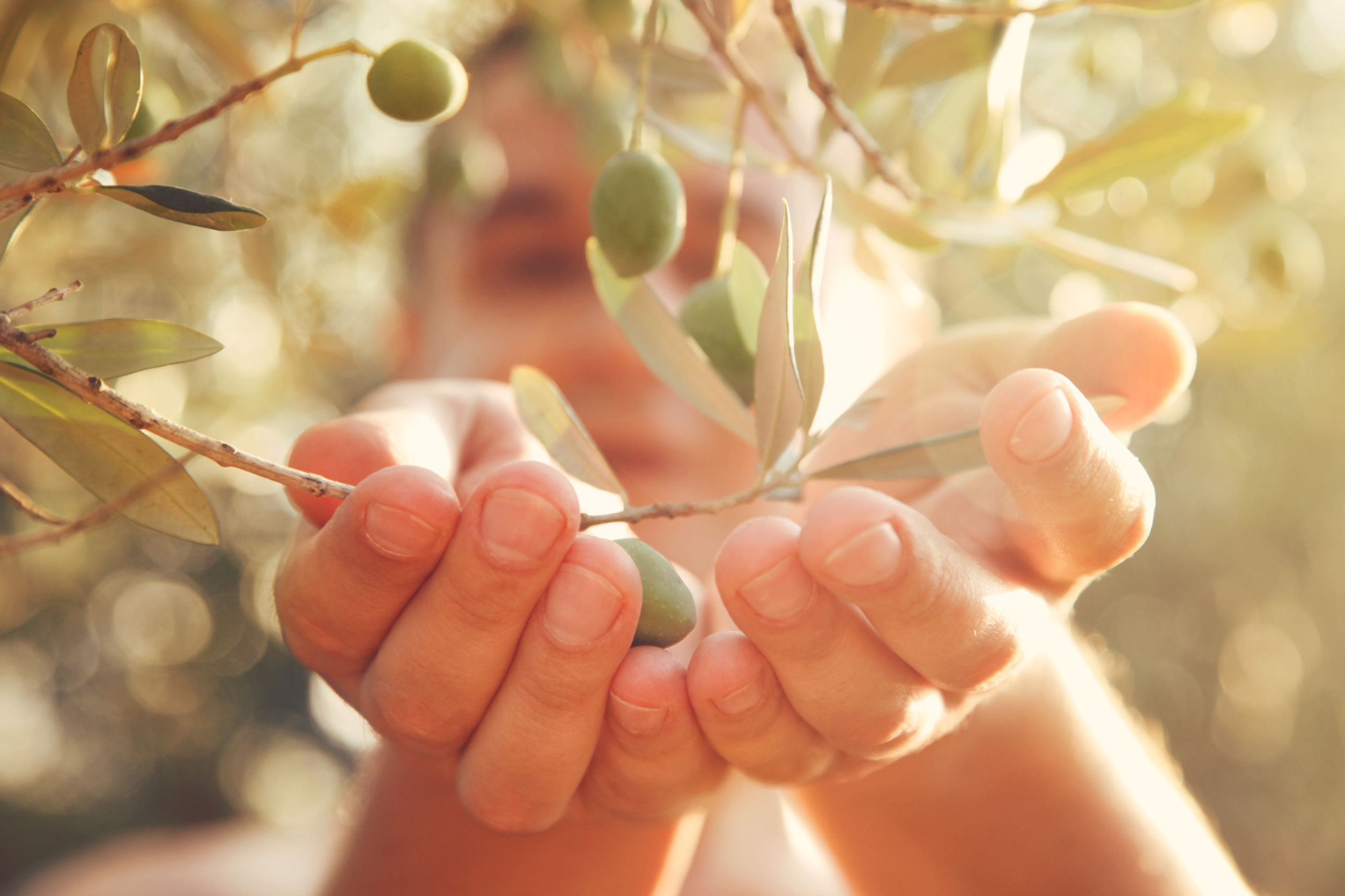 Manos abajo de hojas de olivo