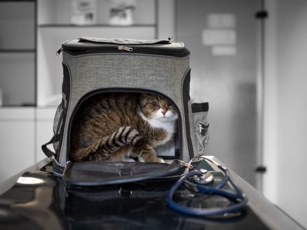 scared british shorthair cat looking out of pet carrier backpack at the veterinarian clinic