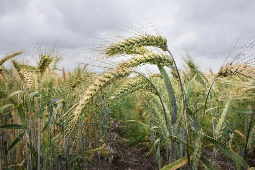 Planta de germen de trigo
