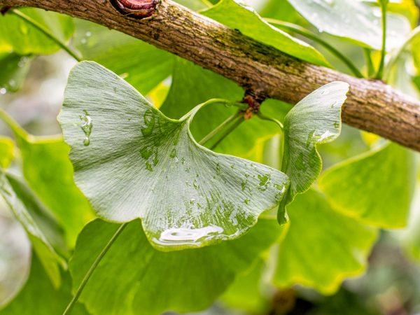 Ginko tree leaf with raindrops, close-up horizontal background. Beautiful green leaf of Ginko biloba for brewing tea, oriental medicine