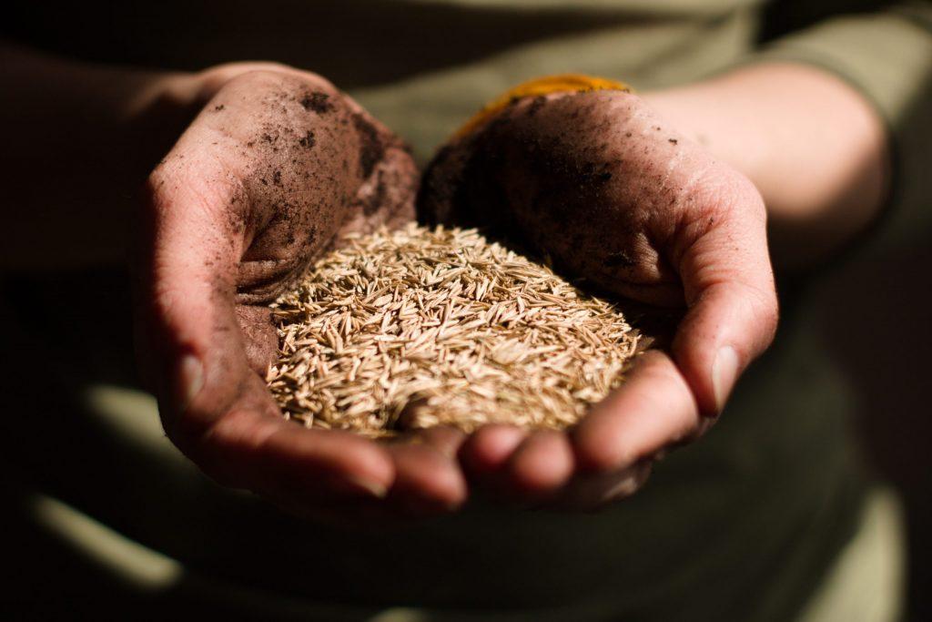 Persona con un puño de germen de trigo