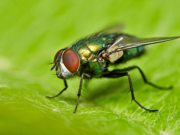 detailed close-up macro of a shiny golden greenbottle fly sitting on a leaf