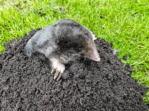 A mole in the garden